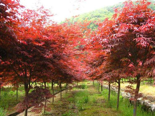红枫生长出苗健壮管理较方便
