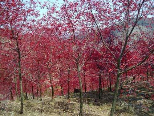 红枫排水良好的砂质土壤上生长良好