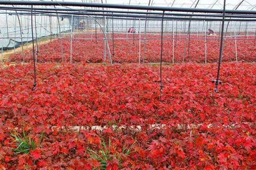 红枫苗木培育及造林技术