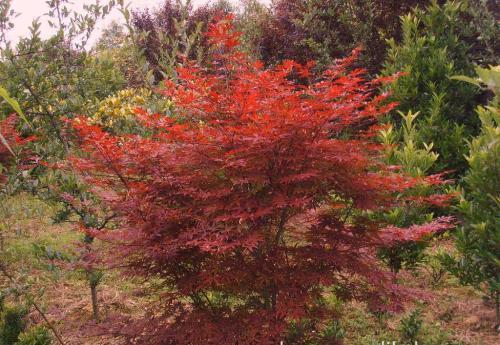 红枫生长健壮充实有较好观赏效果