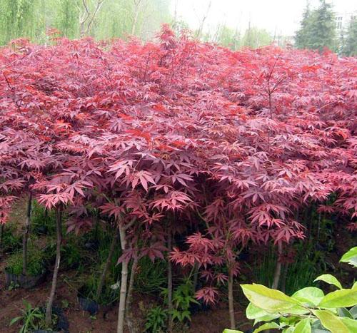 红枫树形整齐枝叶繁茂姿态优美