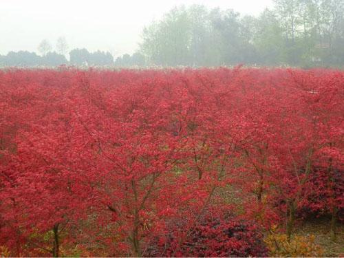 红枫绿化树木生长健壮树形丰满