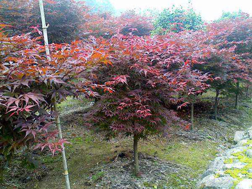 红枫因结构紧密透水和透气性