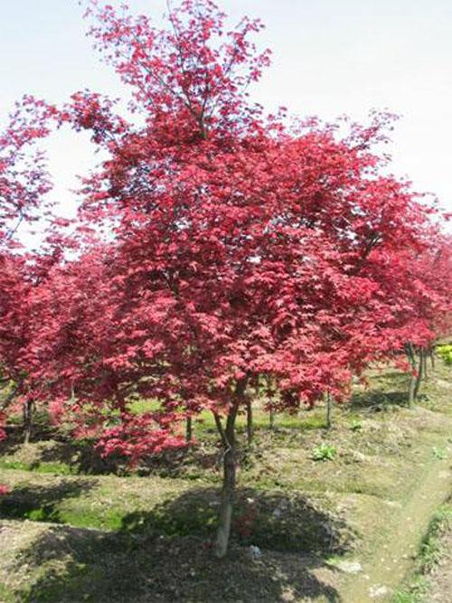 美国红枫树冠倒卵状伞形叶长椭圆形