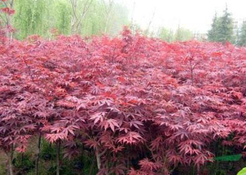 美国红枫植株永远呈现出鲜嫩翠绿状态