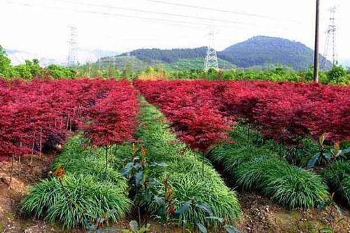 美国红枫苗木支撑与扶正整齐美观的效果