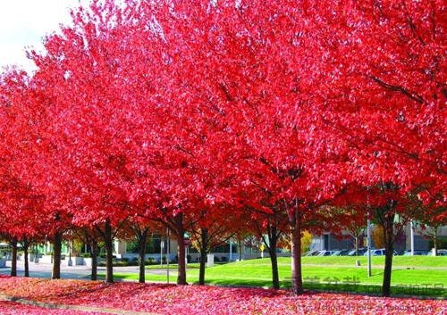美国红枫本种枝叶茂密树姿优美