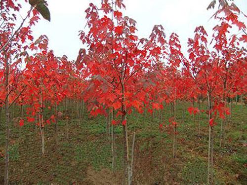 美国红枫苗木的运输种植量