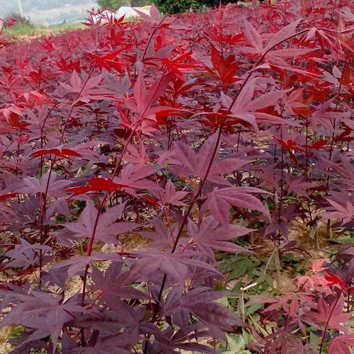 美国红枫绿化施工中苗木栽植管理