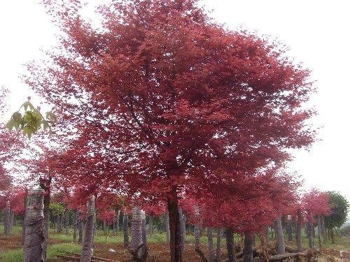 美国红枫苗木的生长量
