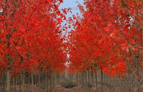 美国红枫苗木培育及移植造林技术要