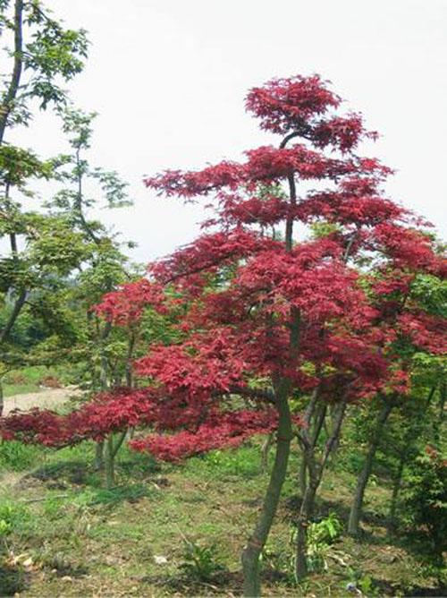 美国红枫花序梗和分枝长而扁