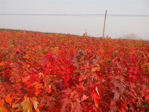 美国红枫落叶垂枝类大苗培育技术