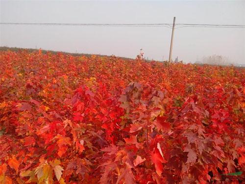 美国红枫苗木主枝轻剪扩大树冠