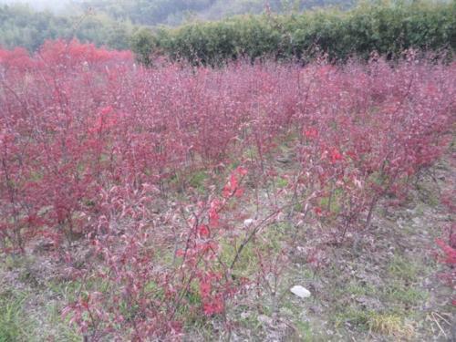 美国红枫苗期可通过密植培育通直树干