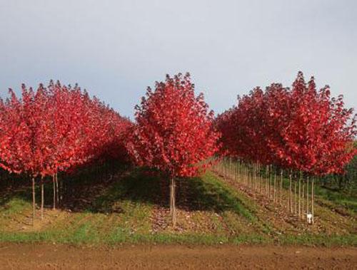 美国红枫苗圃的合理布